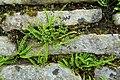 Fern - Haddon Hall - Bakewell, Derbyshire, England - DSC02888.jpg