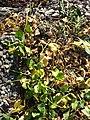 Ficaria calthifolia sl37.jpg