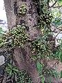 Ficus sp 2.jpg