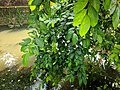 Ficus sp 57.jpg