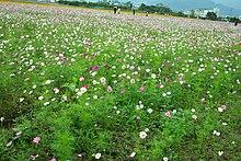 Field of flowers in taiwan.jpg