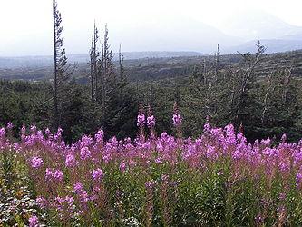 Fireweed on the Klondike Highway, British Columbia 3.jpg