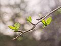First leaves Novosibirsk Siberia 24.04.2012.jpg