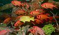 Five-lined Snapper (Lutjanus quinquelineatus) and Shoulderbar Soldierfishes (Myripristis kuntee) (6087942369).jpg