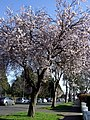 Five Mile Drive blossom - geograph.org.uk - 717086.jpg