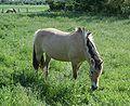 Fjord-Pferde auf Schwanheimer Düne 2.jpg