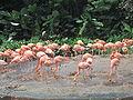 Flamingos, Jurong BirdPark.JPG