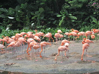 Jurong Bird Park - Caribbean flamingos at Jurong Bird Park