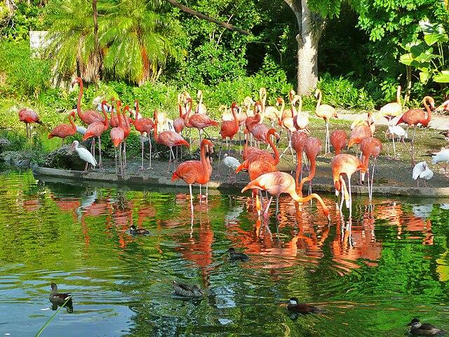 Flamingos at the Miami Zoo