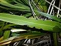 Flax weevil notch.jpg