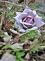 Fleurs de cimetière 29 01 2011 R 01.jpg