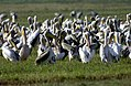 Flickr - Government Press Office (GPO) - Flock of Pelicans.jpg