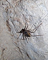 Flickr - ggallice - Tailless whip-scorpion, La Muerta.jpg