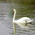 Flickr - jimf0390 - JimF 05-26-12 0019a swan.jpg