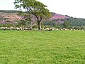 Flock of Sheep - geograph.org.uk - 457591.jpg
