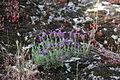 Flora della Sardegna 115 (1).JPG