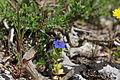 Flora della Sardegna 190 (1).JPG