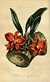 Flore des serres et des jardins de l'Europe - vol. 01 - page 113.jpg