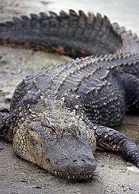 Florida Alligator.jpg
