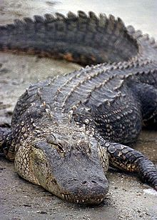 Florida Alligator.jpg