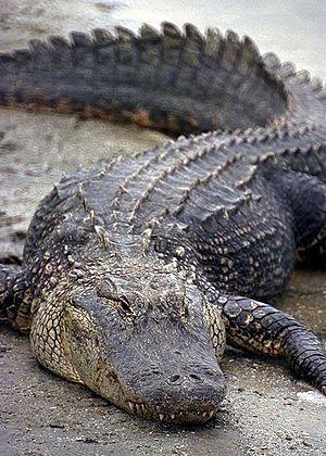 Alligatoridae - American alligator (Alligator mississippiensis)