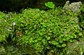 Florida bristle fern (21677168350).jpg