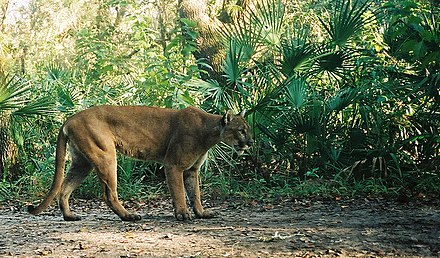 The Florida Panther is the state animal. Florida panther (7013874693).jpg
