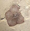 Florissantia quilchenensis Klondike Mtn Fm 01.jpg