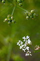 Flower, Coriander - Flickr - nekonomania.jpg