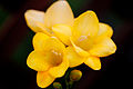 Flower, Freesia - Flickr - nekonomania.jpg