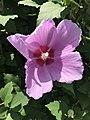 Flower of Hibiscus syriacus 20190810.jpg