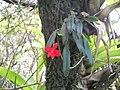 Flower on the trail to Pedra da Cruz^ - panoramio.jpg