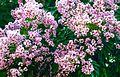 Flowering Indira Inermis.JPG