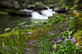 Forest-wildflower-waterfall-blue - West Virginia - ForestWander.jpg