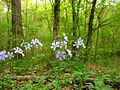 Forest-wildflowers-powder-blue - West Virginia - ForestWander.jpg