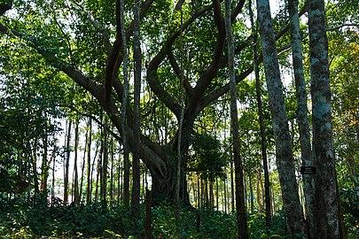 Forest Khao Chamao.jpg