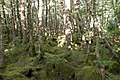 Forest in Yatsugatake 45.jpg