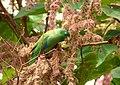 Forpus conspicillatus (Perico de anteojos) - Flickr - Alejandro Bayer (6).jpg