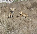Foxes by their den (4565245581).jpg