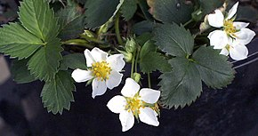 Description de l'image Fragaria virginiana.jpg.
