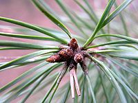 Scots pine needles and buds