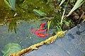 Frai de poissons rouges 2.jpg