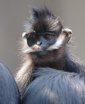 Wild China - Francois' langurs were filmed taking refuge in a cave