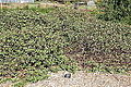Frangula californica (Rhamnus californica) - Humboldt Botanical Garden - Eureka, California - DSC02528.JPG