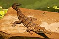 Frankfurt Zoo - Australian Freshwater Crocodile 4.jpg