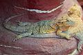 Frankfurt Zoo - Inland bearded dragon 1.jpg