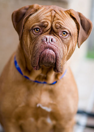French Mastiff 001.jpg