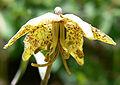 Fritillaria atropurpurea 4.jpg
