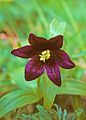 Fritillaria camschatcensis - Chocolate Lily.jpg