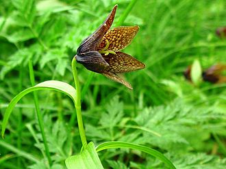 Mount Haku - Image: Fritillaria camschatcensis Kuroyuri in hakusan 2002 7 25